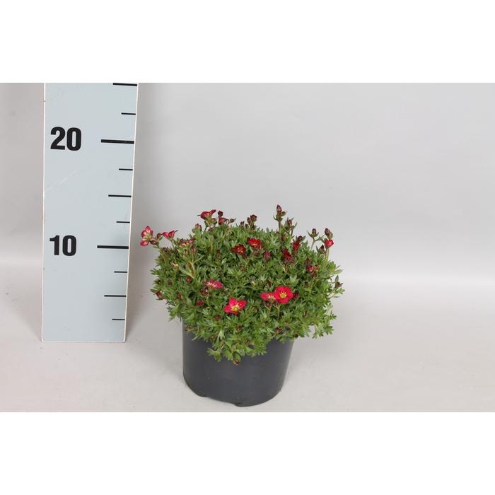 <h4>vaste planten 12 cm Saxifraga Deep Red</h4>