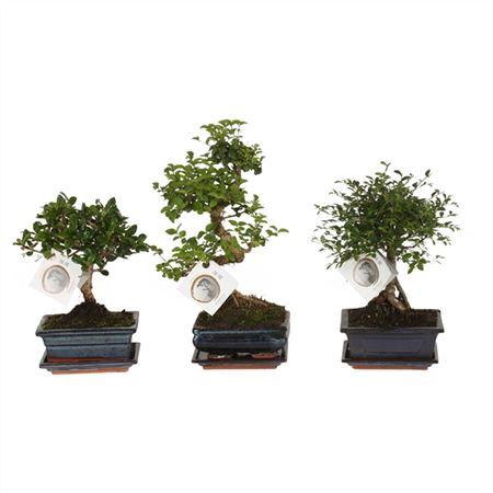 <h4>Bonsai A1150001 Gemengd Keramiek</h4>