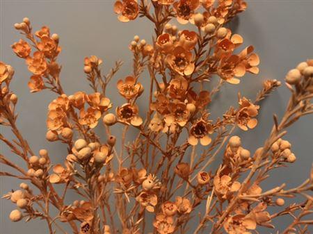 <h4>Wax Flower Apricot</h4>