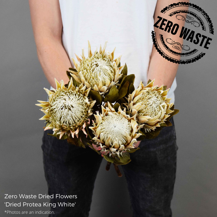 <h4>DRIED PROTEA KING WHITE</h4>