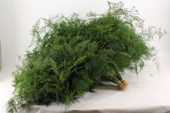 <h4>Asparagus Setaceus Lang Getopt</h4>