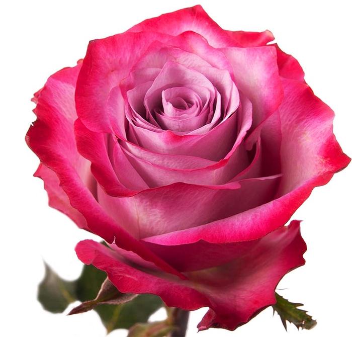 <h4>Rosa gr Deep purple (Nevado)</h4>