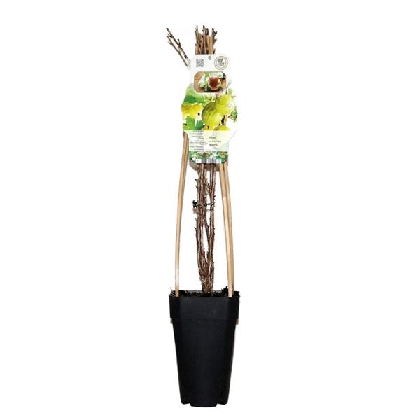 <h4>Ribes uva-crispa tatjana</h4>