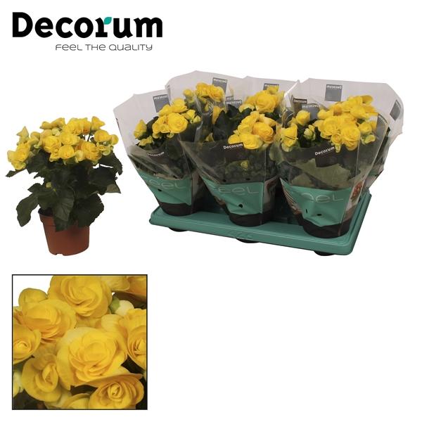 <h4>Begonia ''rebecca'' geel 13cm</h4>