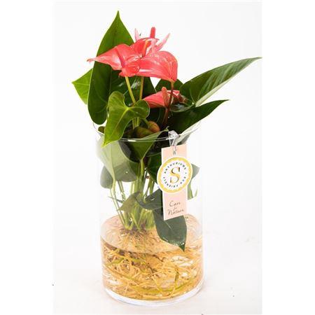 <h4>Anth St Pink Champion Glas Aqua Roots</h4>