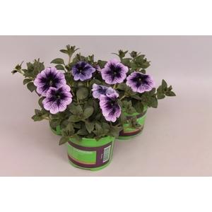 Petunia Prelude Purple Vein