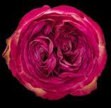 Rosa Gr. DFR101