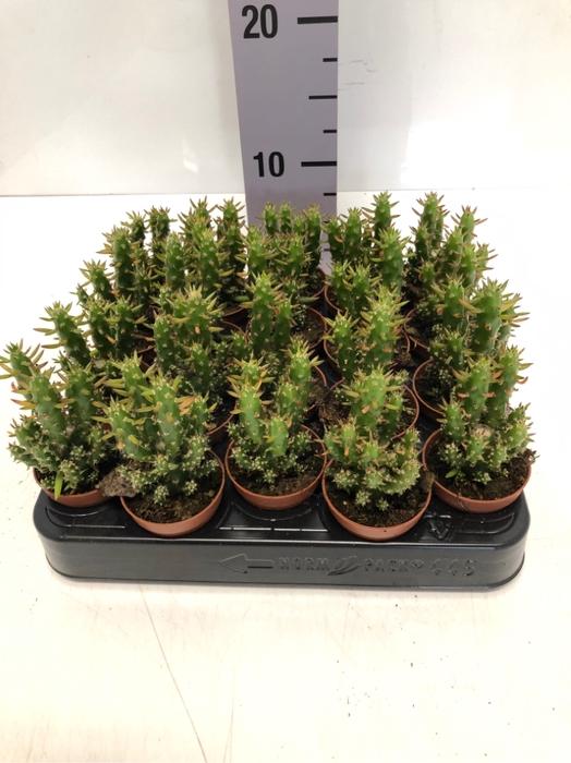 <h4>Opuntia Subulata 5,5Ø 8cm</h4>