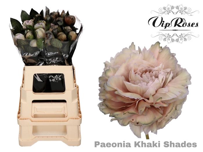 <h4>PAEONIA KHAKI SHADES L 50  x 20</h4>