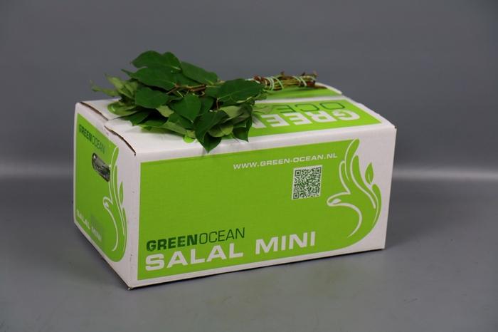 <h4>Salal Mini Tips Green Ocean</h4>