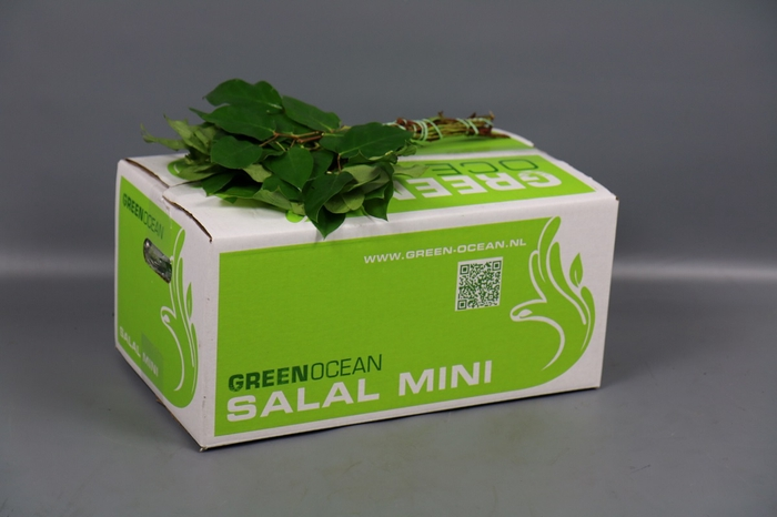 <h4>Salal Mini Tips Green Ocean</h4>