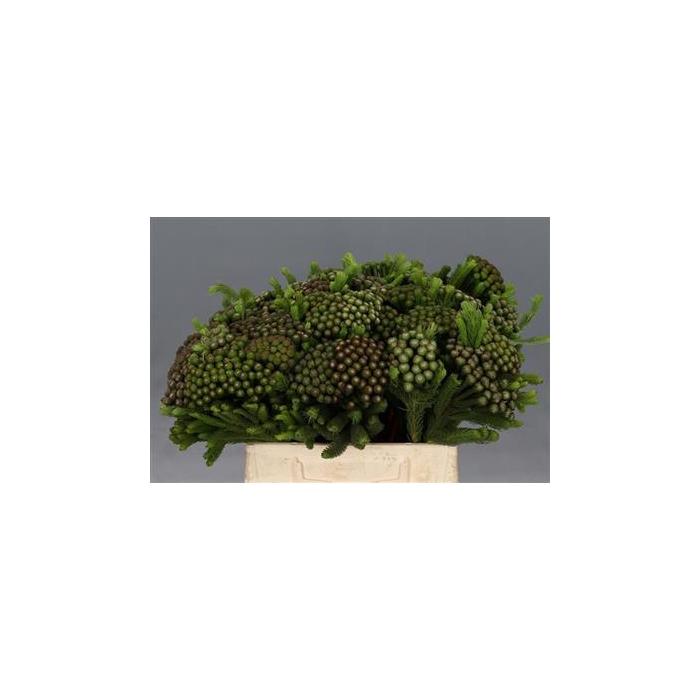 <h4>Albiflora 40 Cm (dikke) P.bl</h4>