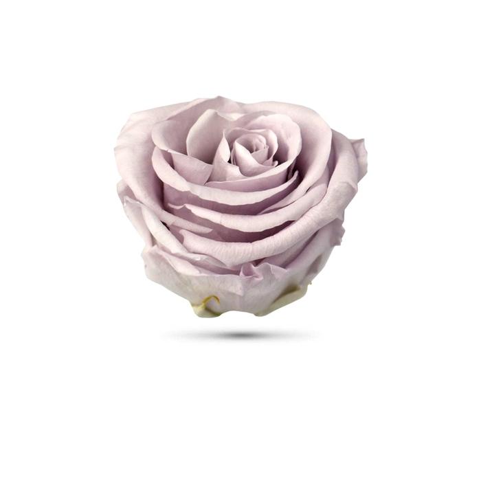<h4>Rosa preservada cabeza lavanda pastel</h4>