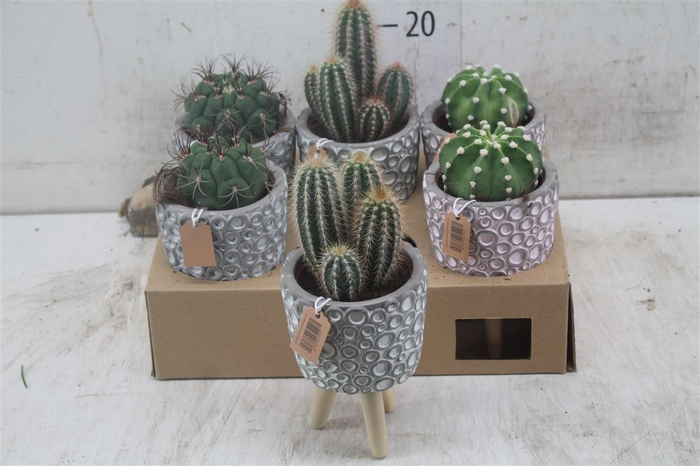 <h4>Cactus Gemengd Cementpot 3 Pootjes Met Cactus</h4>