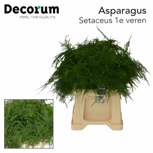 ASP SETACEUS 1E VEREN