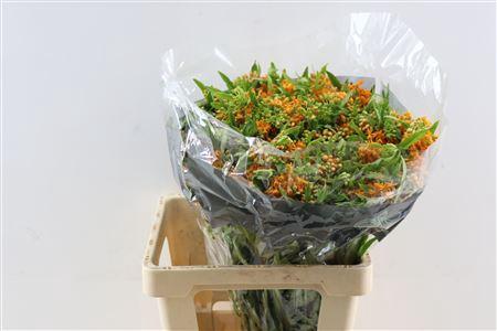 <h4>Ascl Tuberosa Oranje</h4>