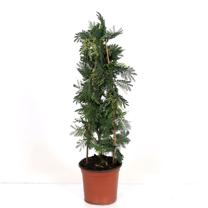 <h4>Acacia Mimosa Daelbata Pyramid</h4>