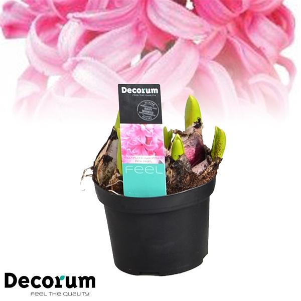 <h4>Hyacinthus Multiflora Pink</h4>