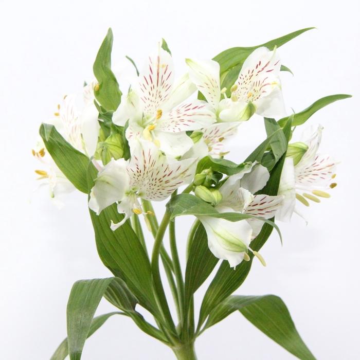 <h4>Alstroemeria Snowtime</h4>