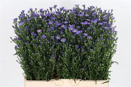 Aster Azul Casamare