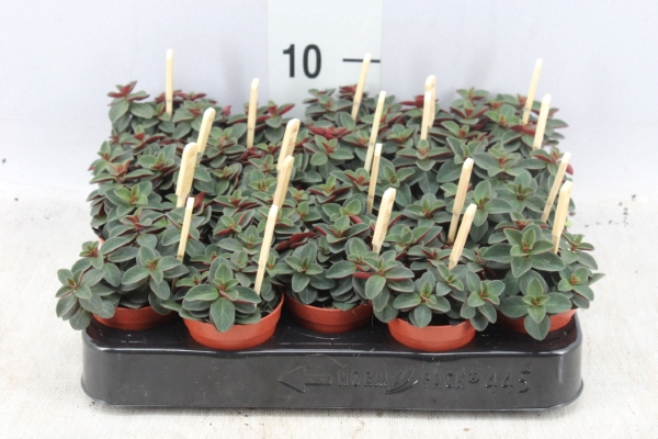 <h4>Peperomia  'Red Log'</h4>