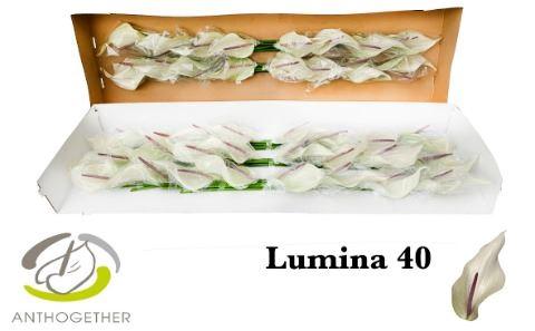 <h4>Anthurium andr. 'Lumina'</h4>