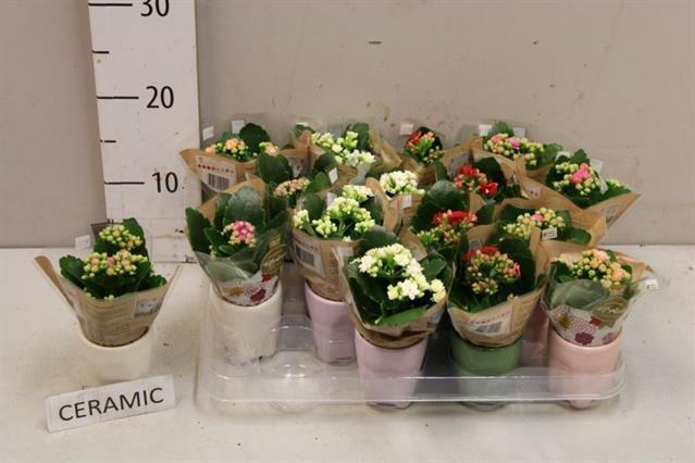 <h4>Kalanchoe blossfeldiana calandiva mix 7Ø 10cm</h4>