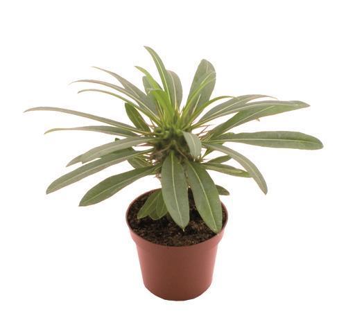 <h4>Pachypodium Lamerei 6Ø 20cm</h4>
