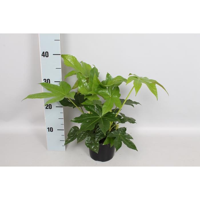 <h4>Fatsia japonica</h4>