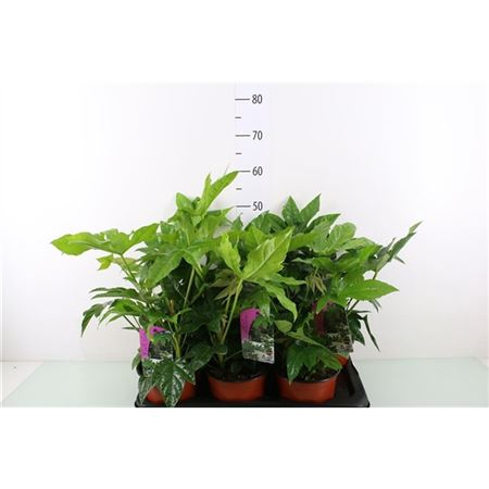 <h4>Fatsia Japonica Outdoor</h4>