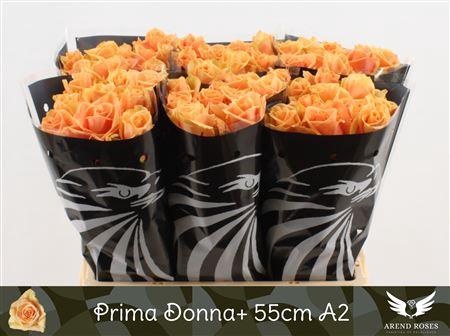 <h4>R Gr Prima Donna+</h4>