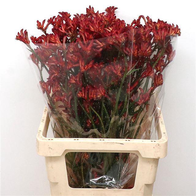 <h4>ANIGOZ RED VELVET</h4>
