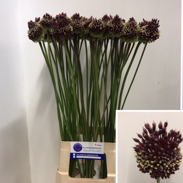 <h4>ALLIUM RED MOHICAN</h4>