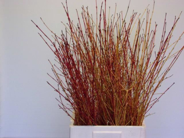 <h4>Cornus sanguinea Winter Beauty</h4>