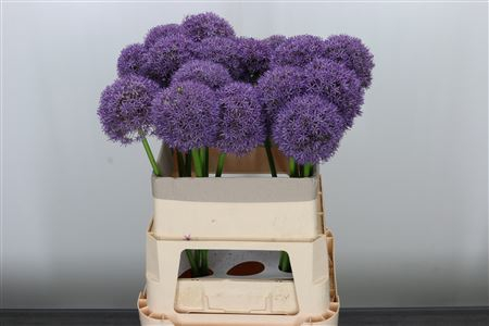 <h4>Allium Grootbloemig</h4>