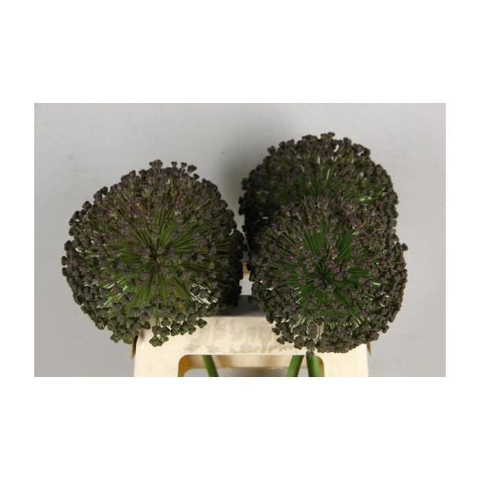 <h4>Allium Black Star</h4>
