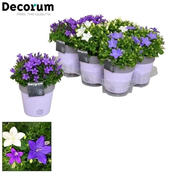 <h4>Campanula Mix Decorum Keramiek</h4>