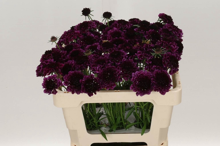 <h4>Scabiosa At Re Vel Scoop</h4>