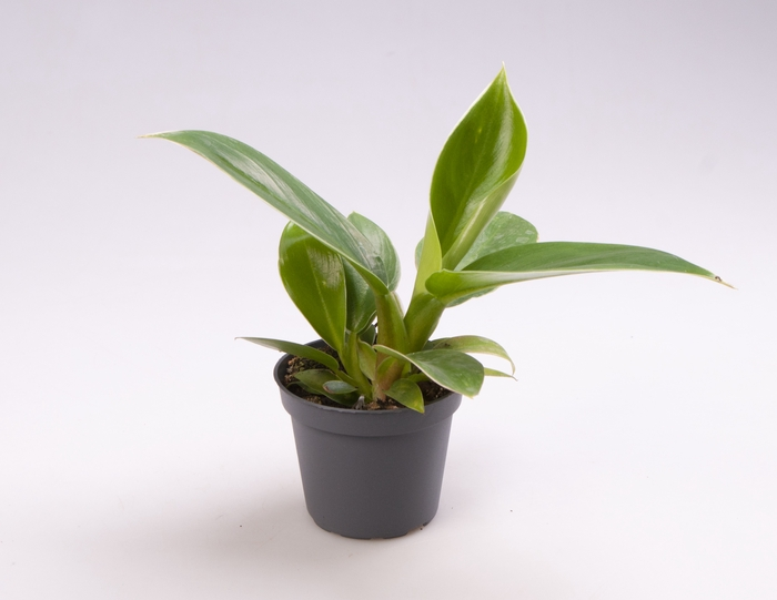 <h4>Philodendron Imperial Green 6Ø 15cm</h4>
