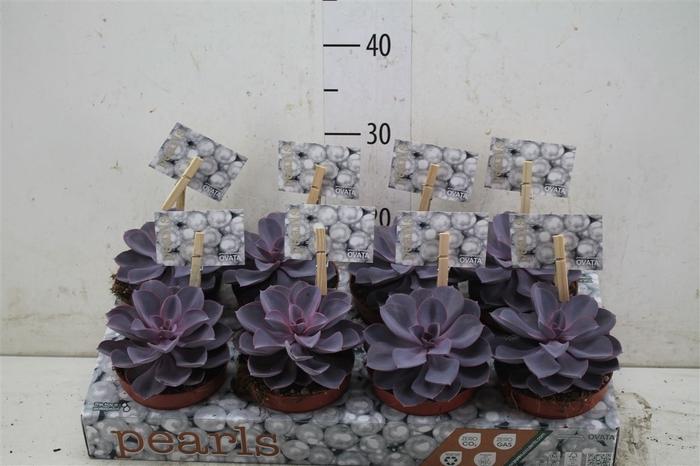 <h4>Echeveria Purple Pearl</h4>