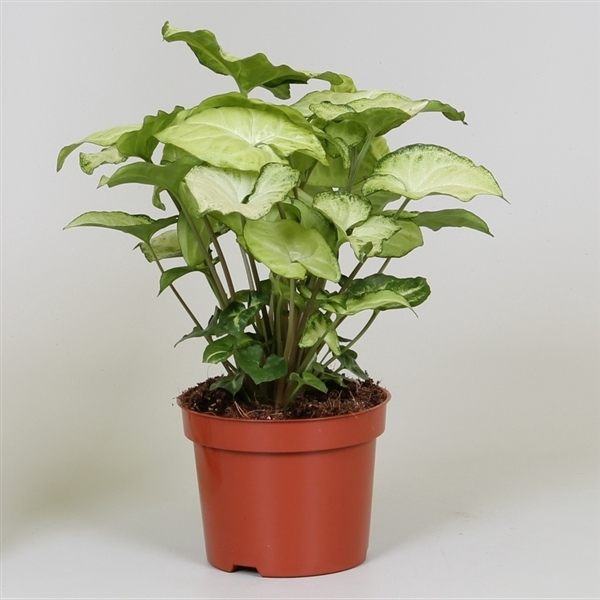 <h4>Syngonium White Butterfly</h4>