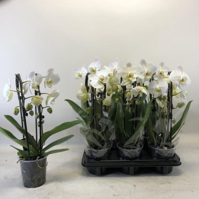<h4>Phalaenopsis Elegans Cascade Biały 12Ø 45cm 2 pędy 14+ kwiatów</h4>