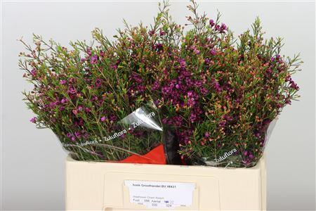 <h4>Chamelauc Purple Rotem</h4>