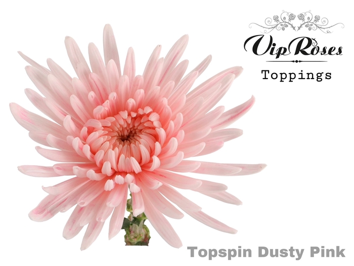 <h4>CHR G TOPSPIN DUSTY PINK</h4>
