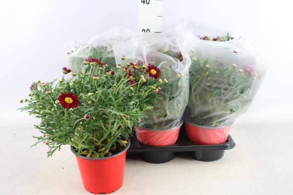<h4>Argyranthemum   ...</h4>