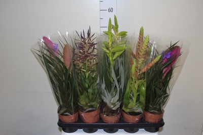 <h4>Tillandsia Mixed</h4>