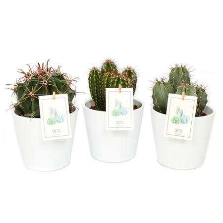 <h4>Cactus Wit Konische Pot</h4>