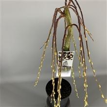 <h4>Salix caprea Kilmarnock</h4>