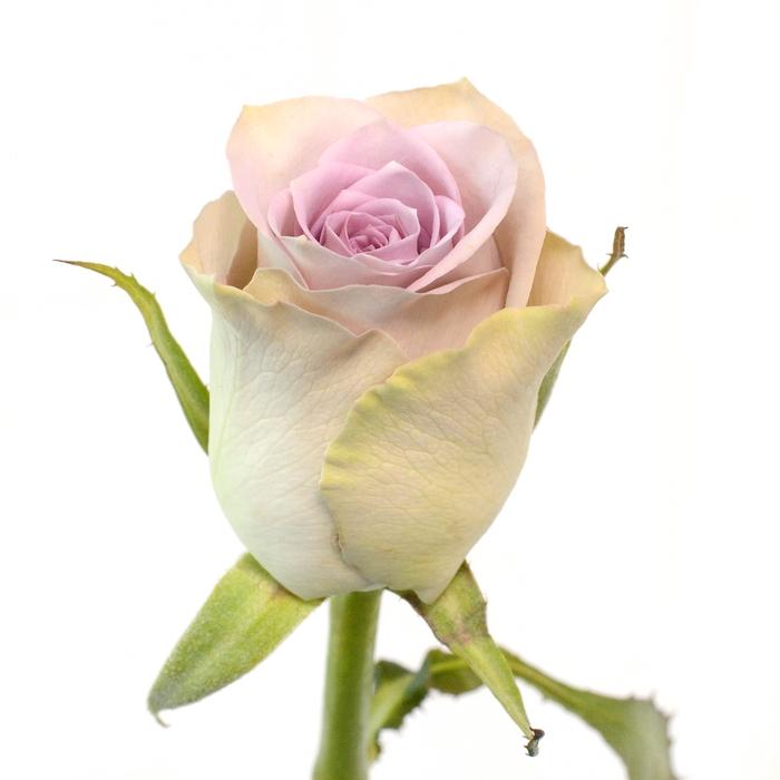 <h4>Rose Morning Dew</h4>
