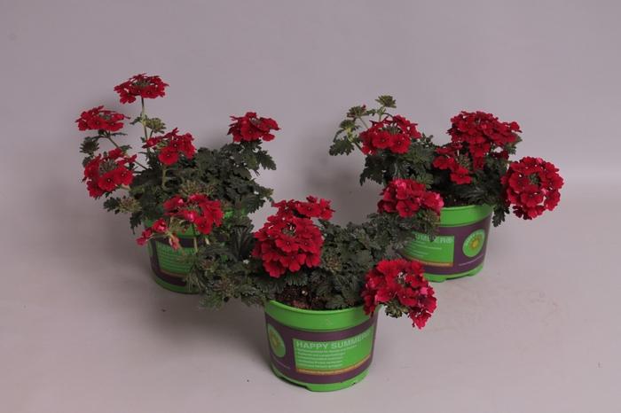 <h4>Verbena Magelana Deep Red</h4>